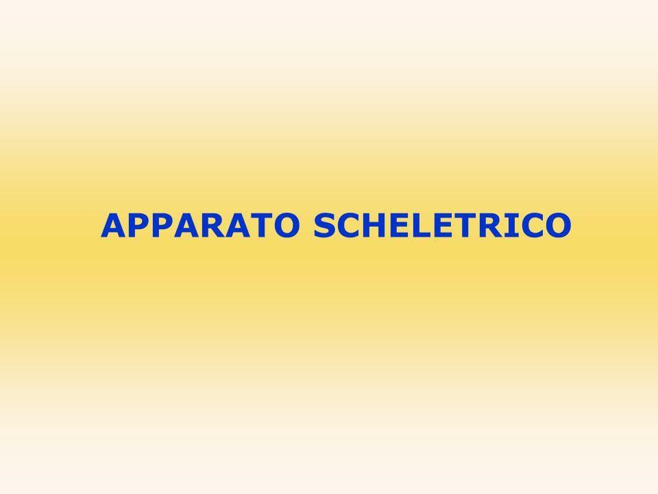 CINTURA SCAPOLARE ANATOMIA DELL'APPARATO SCHELETRICO UMANO La cintura scapolare collega le ossa degli arti superiori allo scheletro assile.
