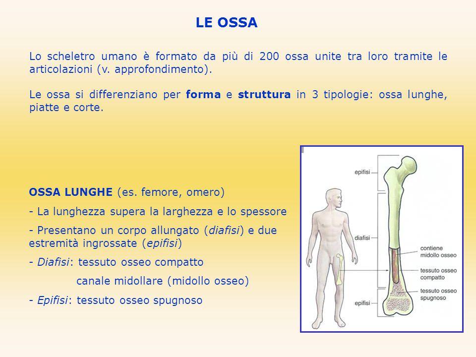 LE OSSA OSSA PIATTE (es.sterno, cranio, bacino) - Lunghezza e larghezza maggiori dello spessore.