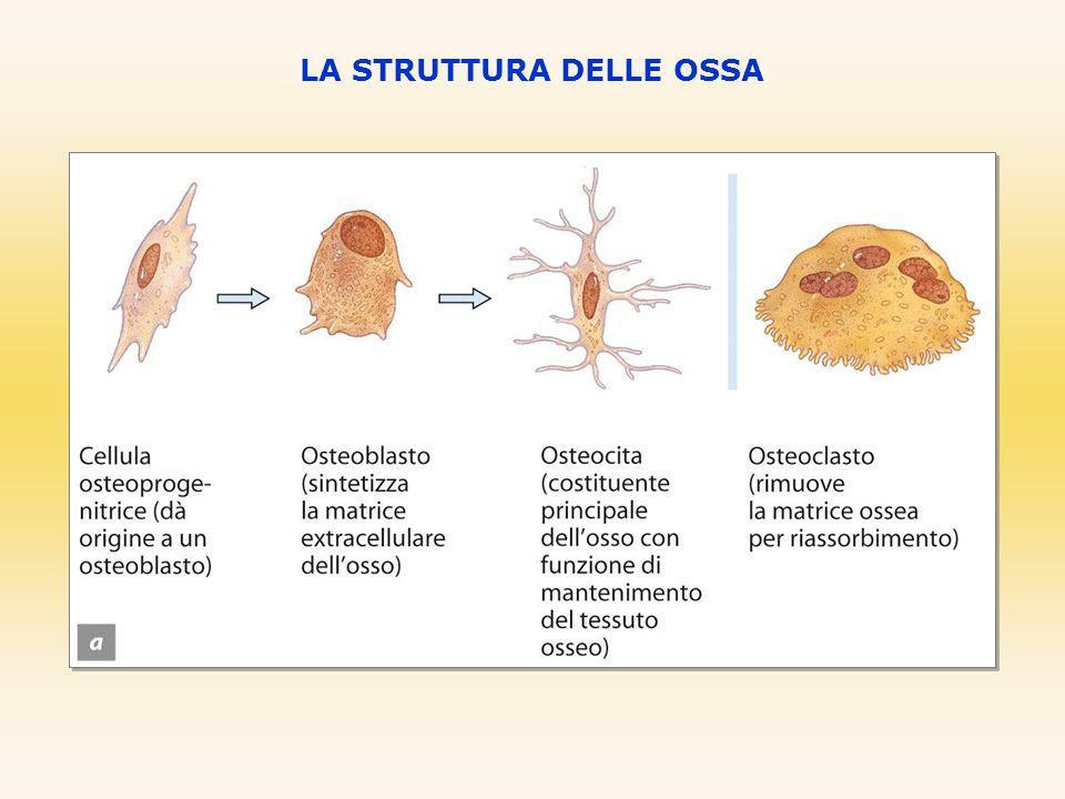 Il tessuto osseo compatto è disposto in unità ripetute dette osteoni o canali di Havers.