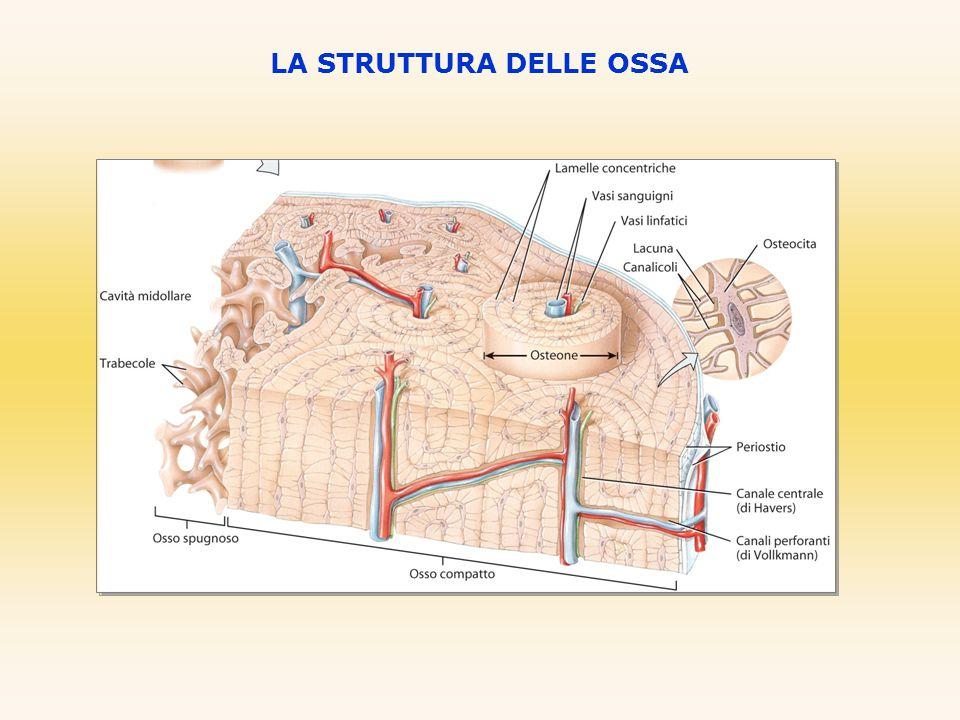 VERTEBRE Vertebre toraciche (12) - hanno il corpo più grande delle cervicali - il processo spinoso è lungo e inclinato verso il basso Vertebre lombari (5) - inversione del rapporto corpo/foro vertebrale - processo spinoso più robusto ANATOMIA DELL'APPARATO SCHELETRICO UMANO Osso sacro (5 vertebre fuse insieme) - si articola con le due ossa dell'anca formando il bacino Coccige (4-5 segmenti ossei fusi insieme) - solo il primo mantiene le caratteristiche di una vertebra Vertebra cervicaleVertebra toracicaVertebra lombare Vertebra dorsale Vertebra cervicale