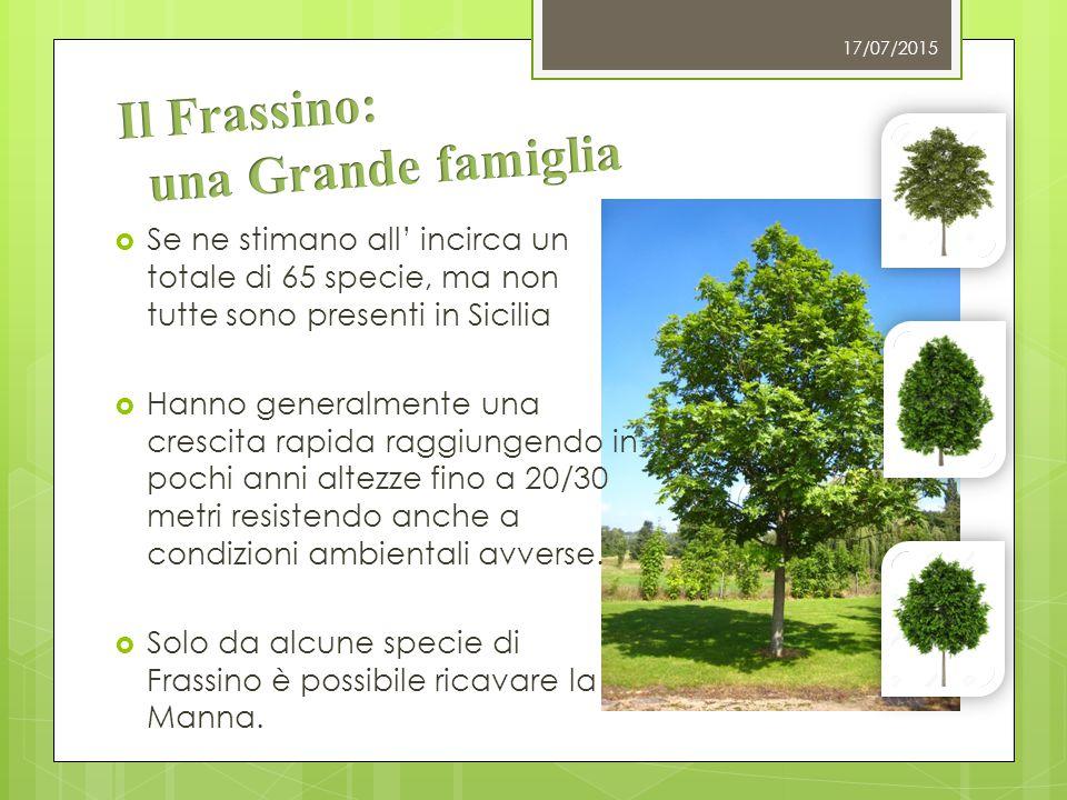 Fraxinus Excelsior Fraxinus Angustifolia Comunemente chiamato Frassino Meridionale, può raggiungere i 20 metri di altezza.