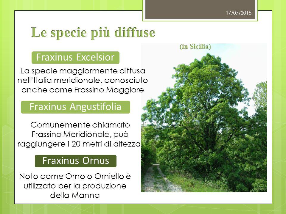 Fraxinus Excelsior Fraxinus Angustifolia Comunemente chiamato Frassino Meridionale, può raggiungere i 20 metri di altezza. 17/07/2015 La specie maggio