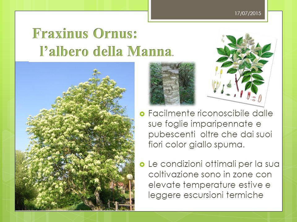 17/07/2015  La Manna viene estratta dagli alberi attraverso 3 diversi metodi appartenenti tutti alla tradizione Siciliana.