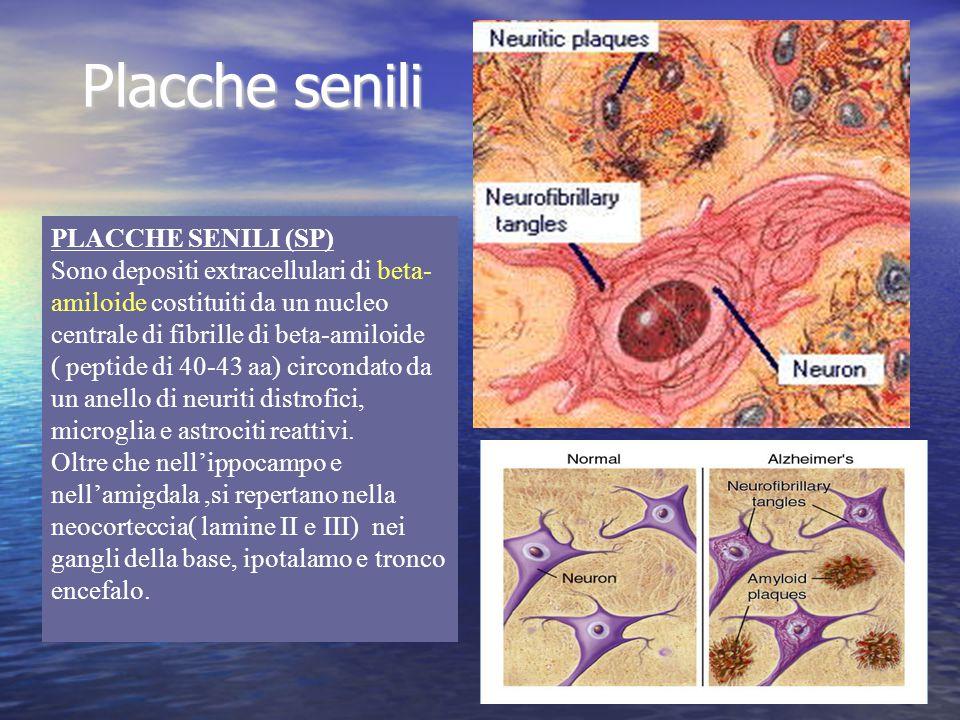Placche senili PLACCHE SENILI (SP) Sono depositi extracellulari di beta- amiloide costituiti da un nucleo centrale di fibrille di beta-amiloide ( pept