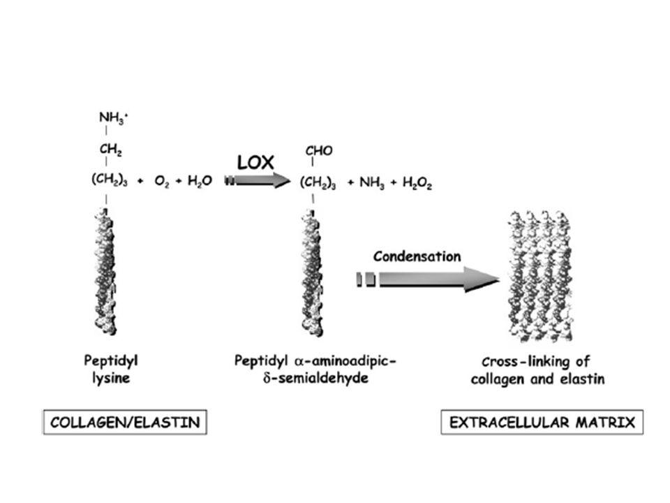 Amino ossidasi ossidazione mono- e di-poliammine Tiol ossidasi formazione legame disolfuro  -amidazione di peptidi neuroendocrini TRH (tireotropina), CRH (corticotropina), vasopressina (maturazione post-sintetica: amidazione del gruppo carbossilico terminale da parte della glicina, donatore del gruppo amminico)