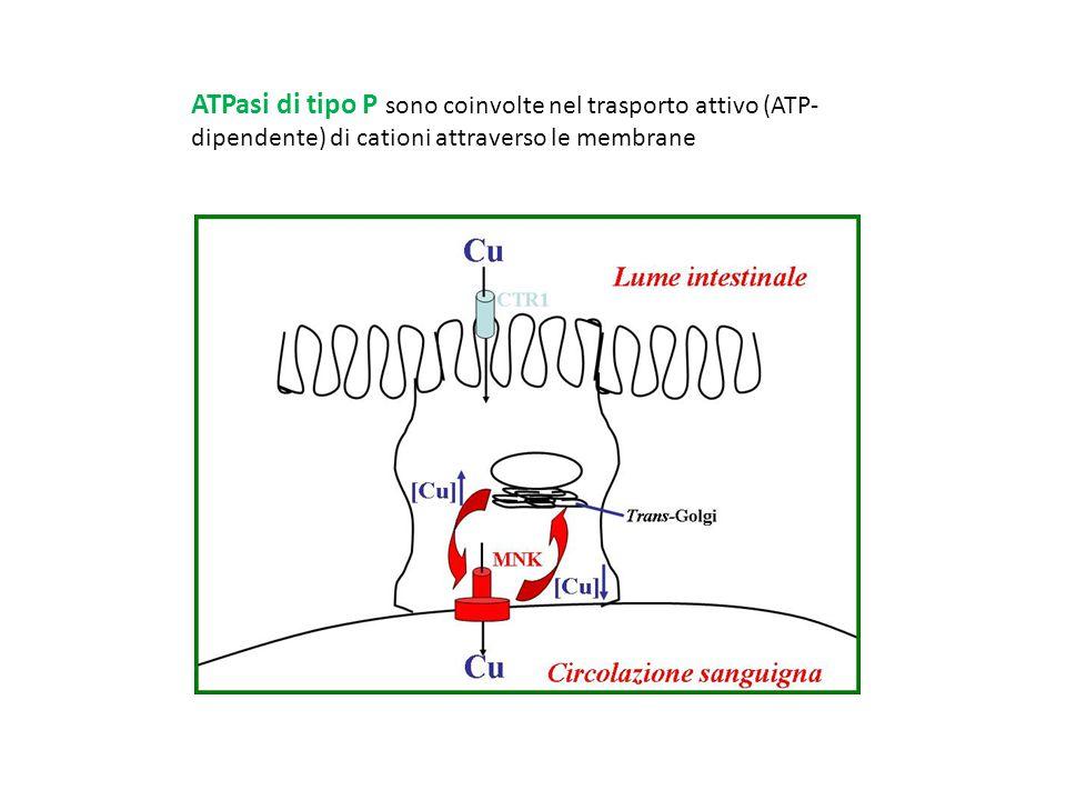 MBD = Metal Binding Domain A domain = phosphatase N and P domains = phosphorylation and ATP binding Hanno uno o più motivi di legame per il Cu (minimo motivo GMXCXXC) vicino alla regione amino-terminale G- Gly M- Met C-Cys