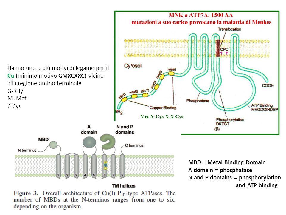 MBD = Metal Binding Domain A domain = phosphatase N and P domains = phosphorylation and ATP binding Hanno uno o più motivi di legame per il Cu (minimo