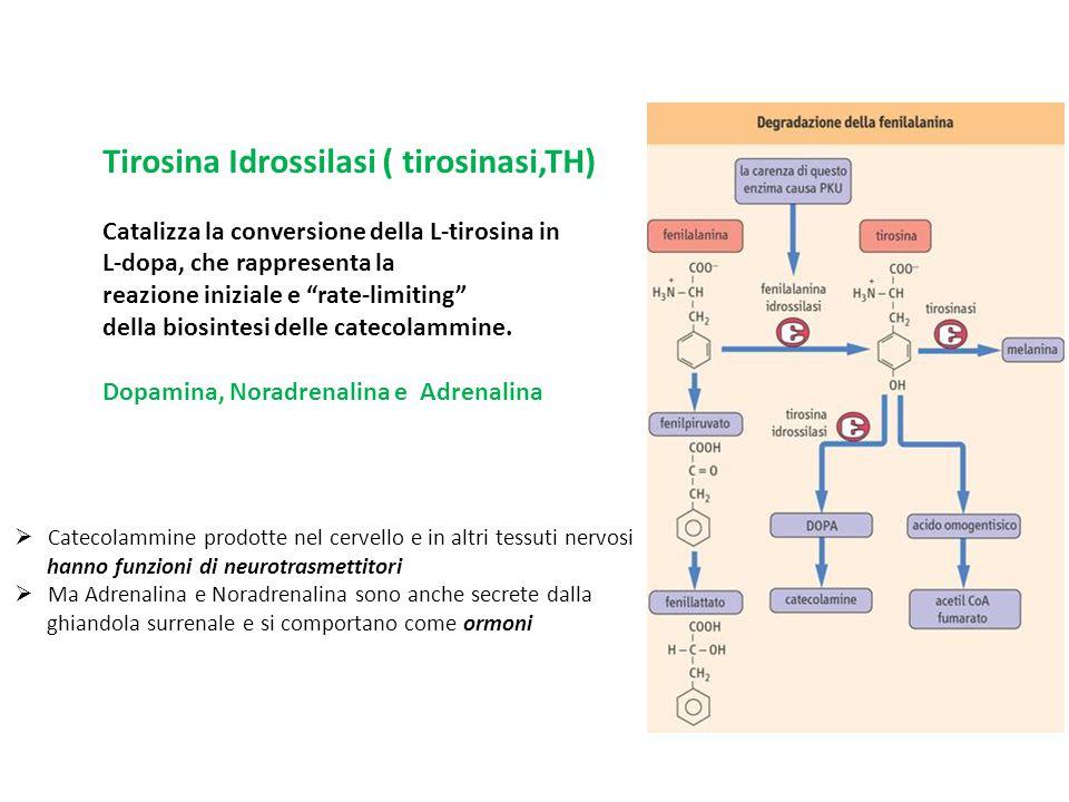 """Tirosina Idrossilasi ( tirosinasi,TH) Catalizza la conversione della L-tirosina in L-dopa, che rappresenta la reazione iniziale e """"rate-limiting"""" dell"""