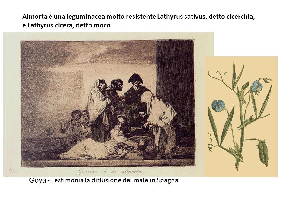Almorta è una leguminacea molto resistente Lathyrus sativus, detto cicerchia, e Lathyrus cicera, detto moco Goya - Testimonia la diffusione del male i