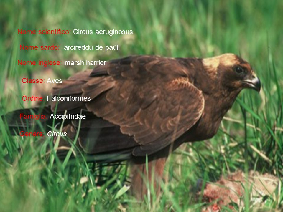 Nome scientifico: Circus aeruginosus Nome sardo: arcireddu de paùli Nome inglese: marsh harrier Classe: Aves Ordine: Falconiformes Famiglia: Accipitridae Genere: Circus