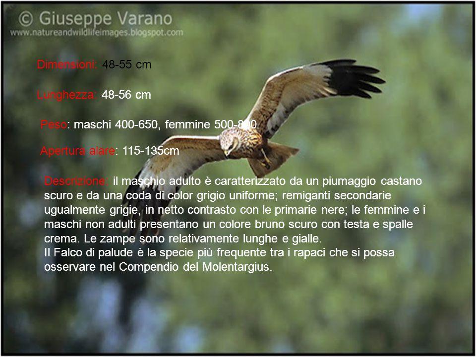 Dimensioni: 48-55 cm Lunghezza: 48-56 cm Peso: maschi 400-650, femmine 500-800 Apertura alare: 115-135cm Descrizione: il maschio adulto è caratterizza