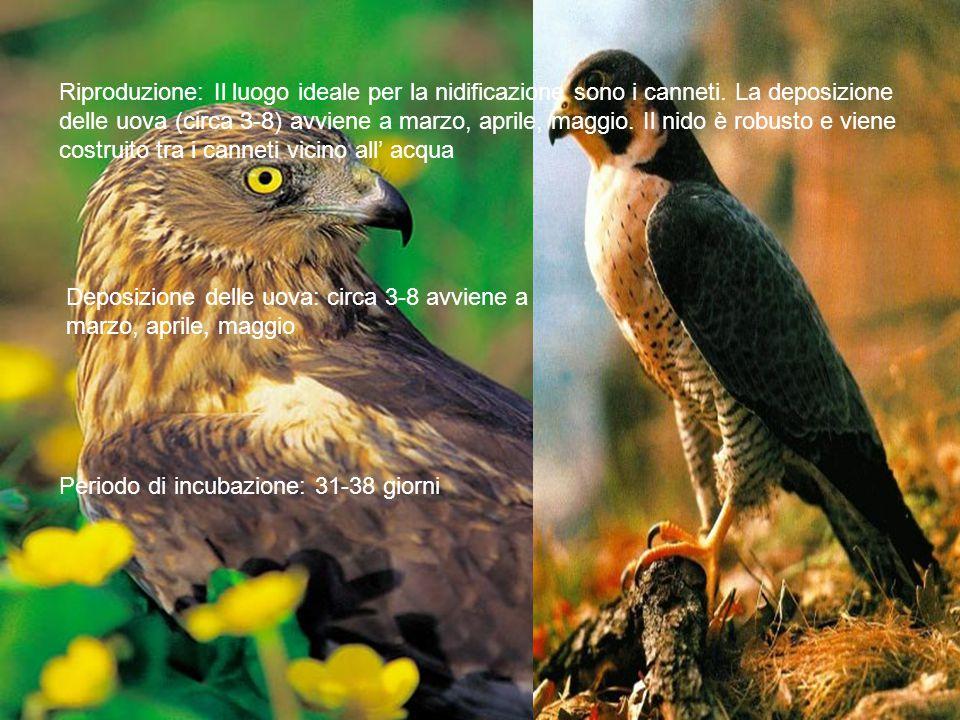 Riproduzione: Il luogo ideale per la nidificazione sono i canneti.