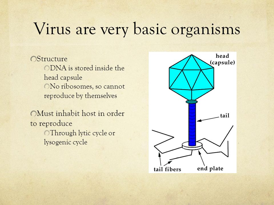 Virus are very basic organisms Structure DNA is stored inside the head capsule No ribosomes, so cannot reproduce by themselves Must inhabit host in order to reproduce Through lytic cycle or lysogenic cycle