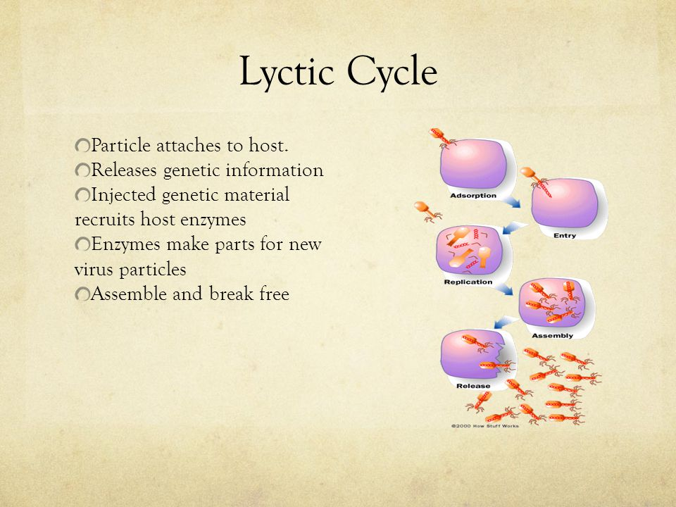 Lyctic Cycle Particle attaches to host. Releases genetic information Injected genetic material recruits host enzymes Enzymes make parts for new virus
