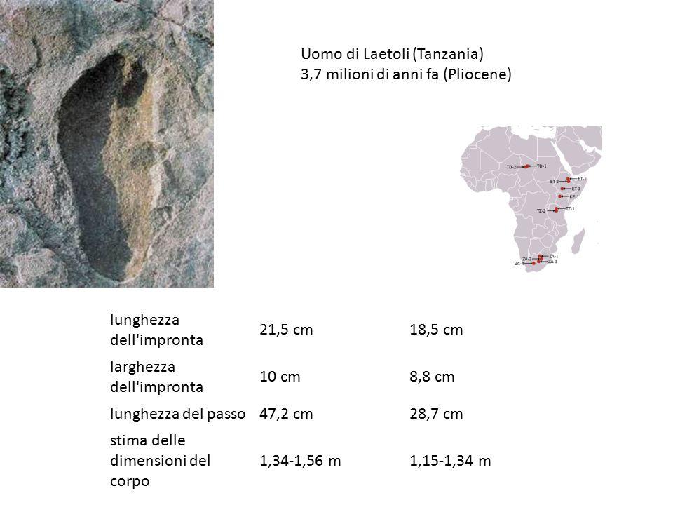 lunghezza dell'impronta 21,5 cm18,5 cm larghezza dell'impronta 10 cm8,8 cm lunghezza del passo47,2 cm28,7 cm stima delle dimensioni del corpo 1,34-1,5