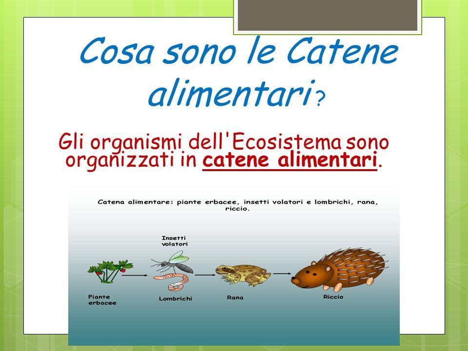 ? Cosa sono le Catene alimentari ? Gli organismi dell'Ecosistema sono organizzati in catene alimentari. 12