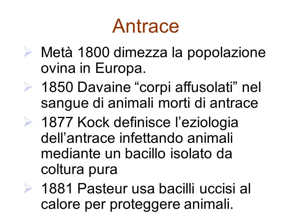 Morfologia & fisiologia Bacilli gram-positivi, aerobici, sporigeni Capsulati se coltivati in 5% CO2 Formazione di spore in coltura, suolo, e su tessuti di animali morti ma no in animali vivi Le spore restano vitali nel suolo per decadi