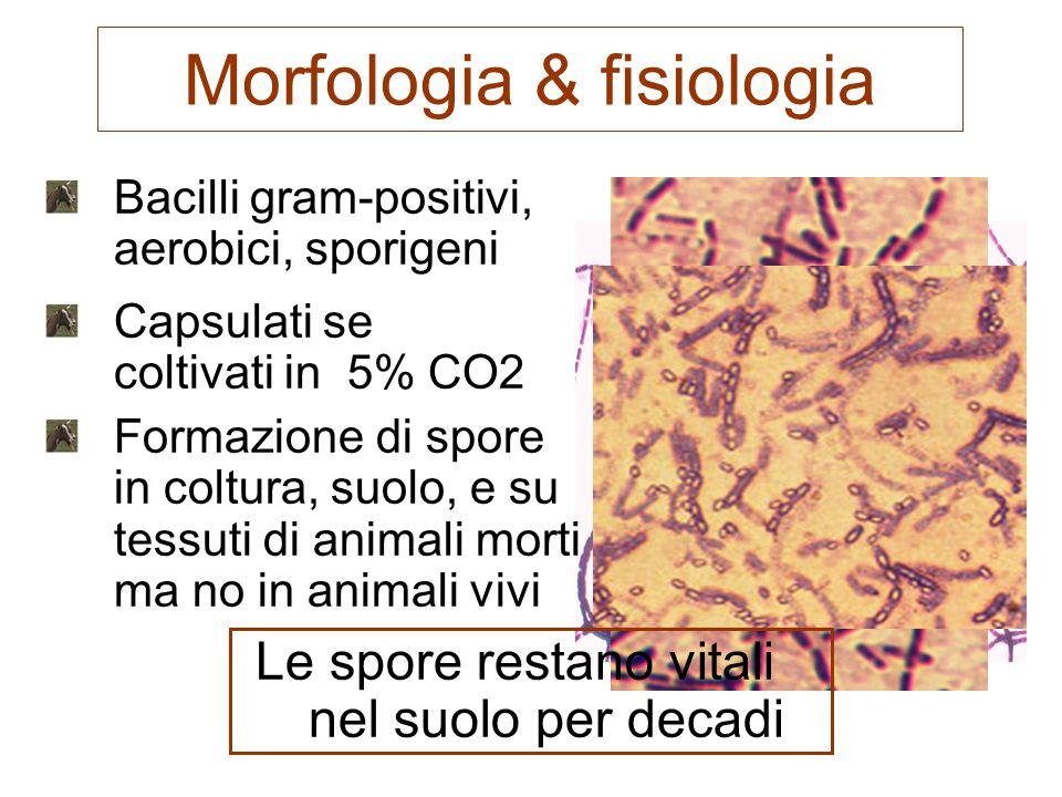 Antrace polmonare Inalazione delle spore Germinazione, replicazione e infezione dei linfonodi regionali Necrosi emorragica dei linfonodi Febbre, malessere, mialgia, e tosse non produttiva Brusco arresto respiratorio (dopo 1-2 giorni)