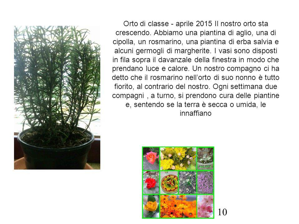 Orto di classe - aprile 2015 Il nostro orto sta crescendo. Abbiamo una piantina di aglio, una di cipolla, un rosmarino, una piantina di erba salvia e