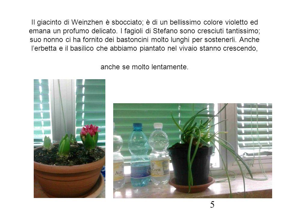 Il giacinto di Weinzhen è sbocciato; è di un bellissimo colore violetto ed emana un profumo delicato. I fagioli di Stefano sono cresciuti tantissimo;