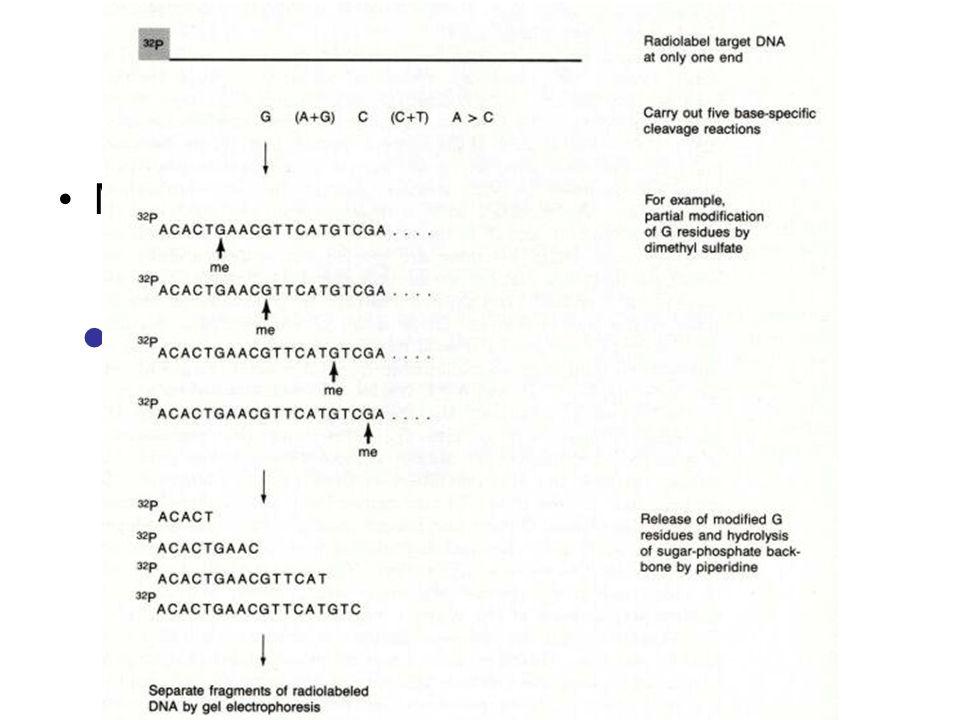 Sequenziamento Metodo di Maxam e Gilbert Limiti del Metodo – Scarsa riproducibilità – Materiale radioattivo – Sequenze brevi