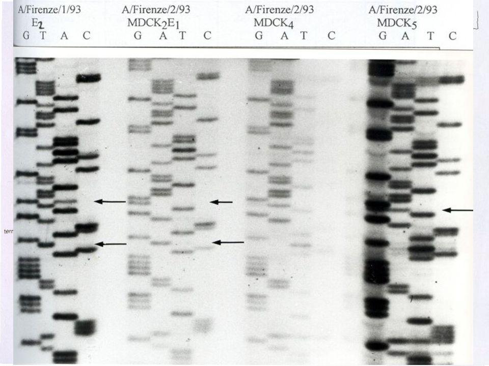 Sequenziamento Metodo di Sanger Limiti del Metodo – Scarsa riproducibilità – Materiale radioattivo – Sequenze brevi