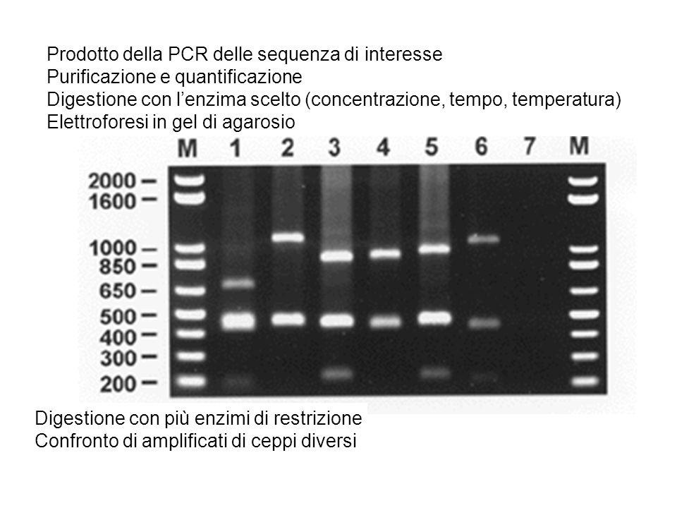 Prodotto della PCR delle sequenza di interesse Purificazione e quantificazione Digestione con l'enzima scelto (concentrazione, tempo, temperatura) Elettroforesi in gel di agarosio Digestione con più enzimi di restrizione Confronto di amplificati di ceppi diversi