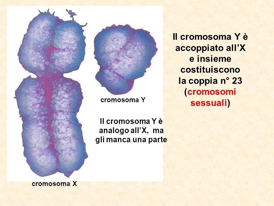 cromosoma Y cromosoma X Il cromosoma Y è accoppiato all'X e insieme costituiscono la coppia n° 23 (cromosomi sessuali) Il cromosoma Y è analogo all'X, ma gli manca una parte