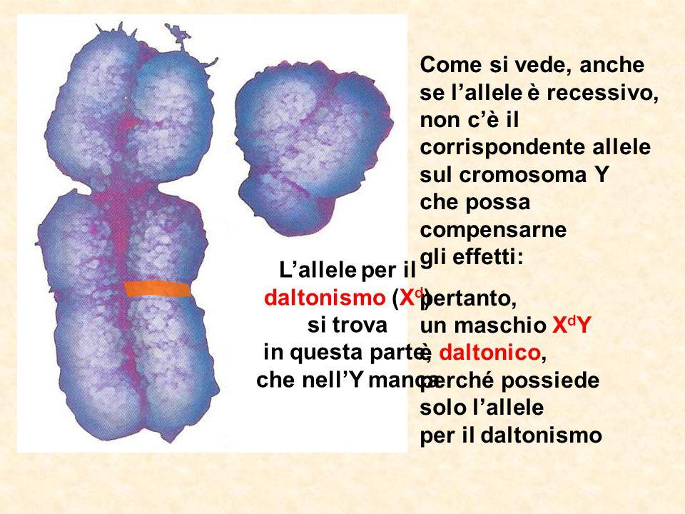 Come si vede, anche se l'allele è recessivo, non c'è il corrispondente allele sul cromosoma Y che possa compensarne gli effetti: pertanto, un maschio X d Y è daltonico, perché possiede solo l'allele per il daltonismo L'allele per il daltonismo (X d ) si trova in questa parte, che nell'Y manca