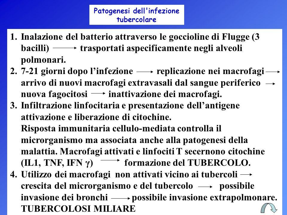 1.Inalazione del batterio attraverso le goccioline di Flugge (3 bacilli) trasportati aspecificamente negli alveoli polmonari. 2.7-21 giorni dopo l'inf