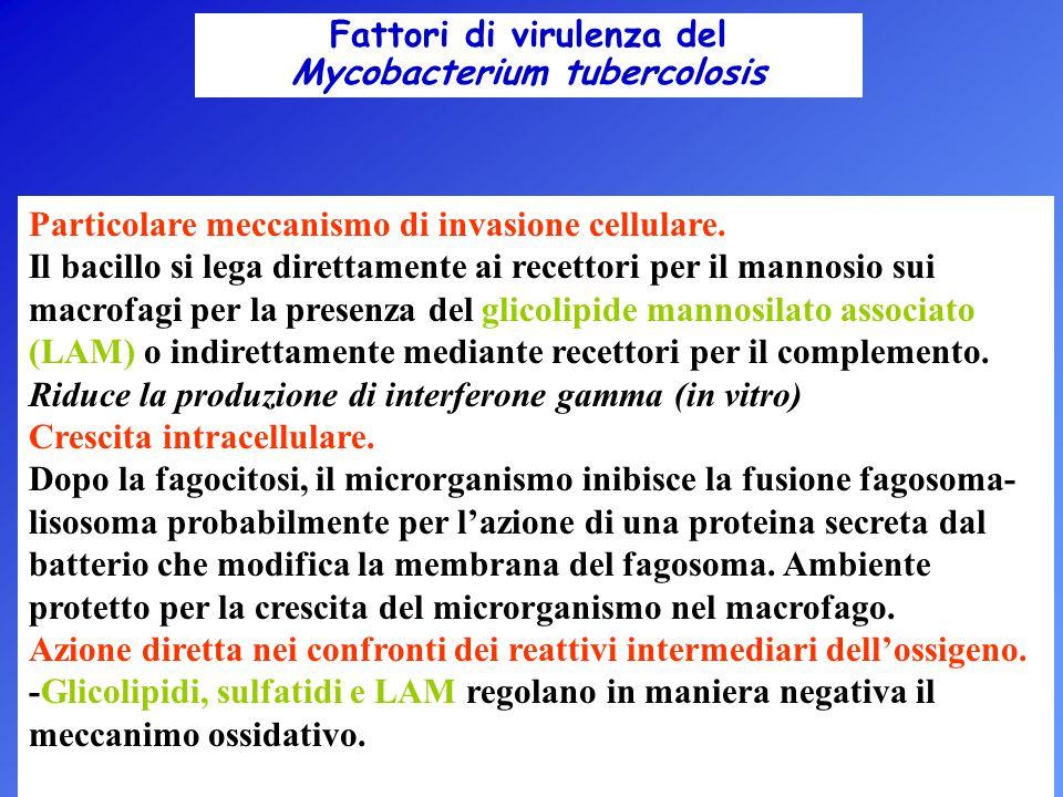 Fattori di virulenza del Mycobacterium tubercolosis Particolare meccanismo di invasione cellulare. Il bacillo si lega direttamente ai recettori per il