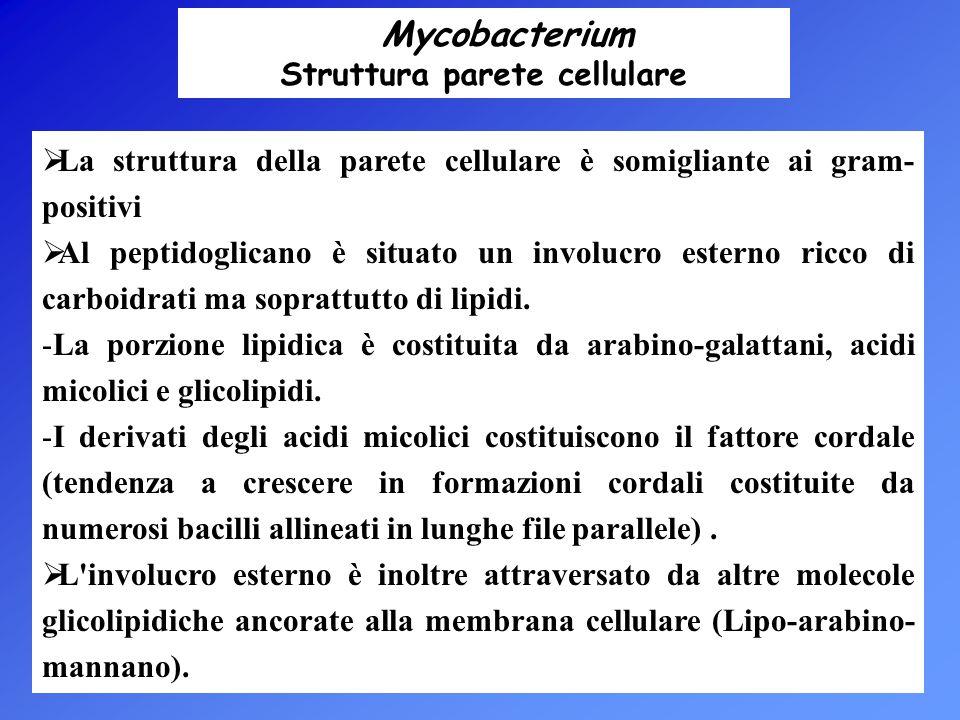 Mycobacterium Struttura parete cellulare  La struttura della parete cellulare è somigliante ai gram- positivi  Al peptidoglicano è situato un involu