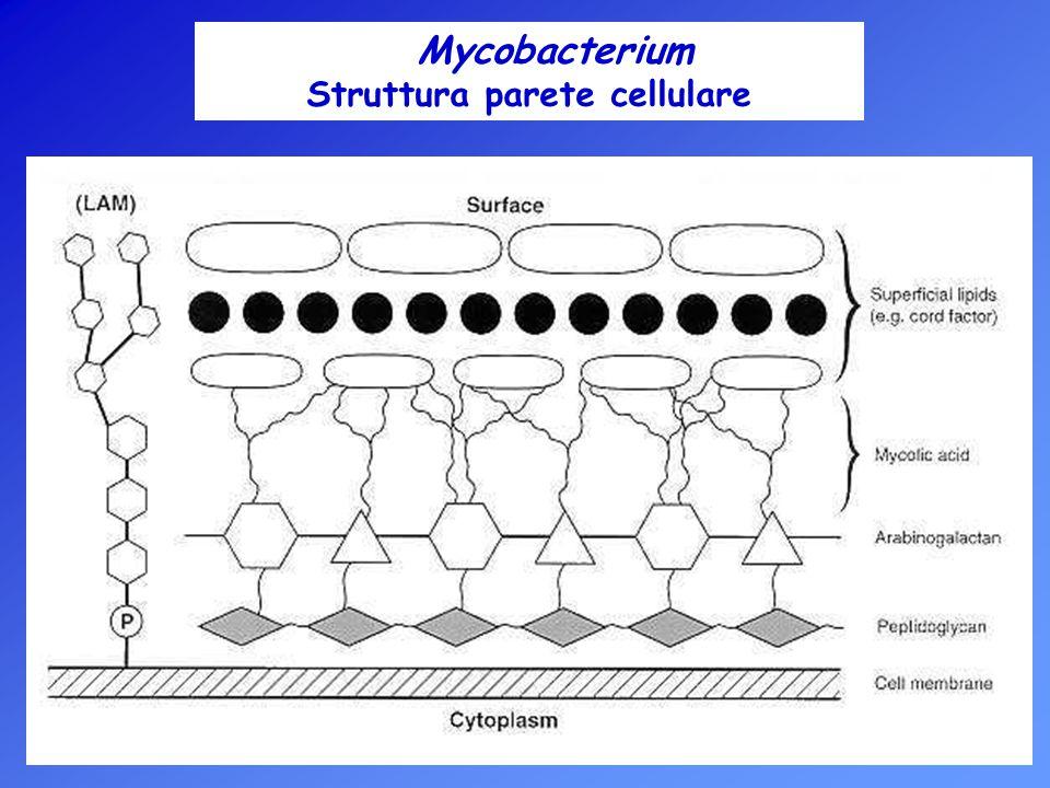 Coltivazione dei Micobatteri La peculiare struttura della parete cellulare è responsabile della eccessiva permeabilità selettiva e degli scambi metabolici con l ambiente particolarmente rallentati => velocità di duplicazione lenta rispetto agli altri batteri.