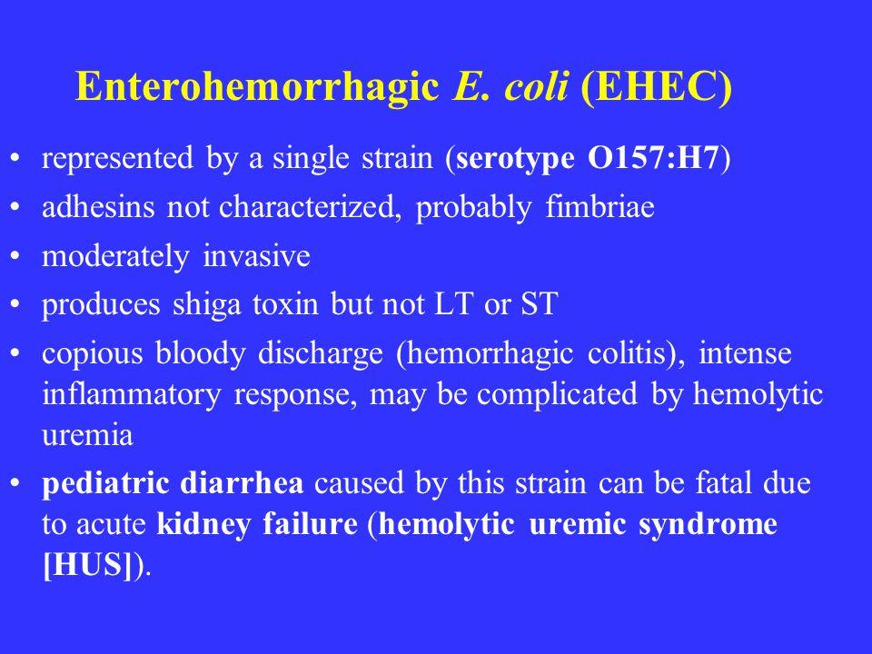 Enterohemorrhagic E. coli (EHEC) represented by a single strain (serotype O157:H7) adhesins not characterized, probably fimbriae moderately invasive p