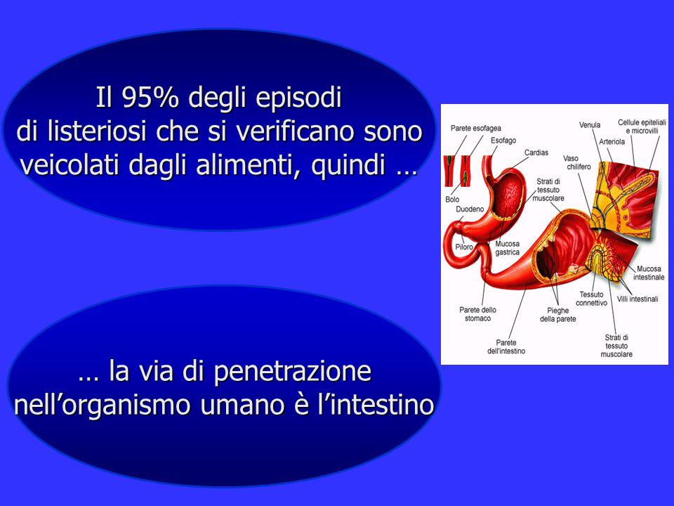 Il 95% degli episodi di listeriosi che si verificano sono veicolati dagli alimenti, quindi … … la via di penetrazione nell'organismo umano è l'intesti