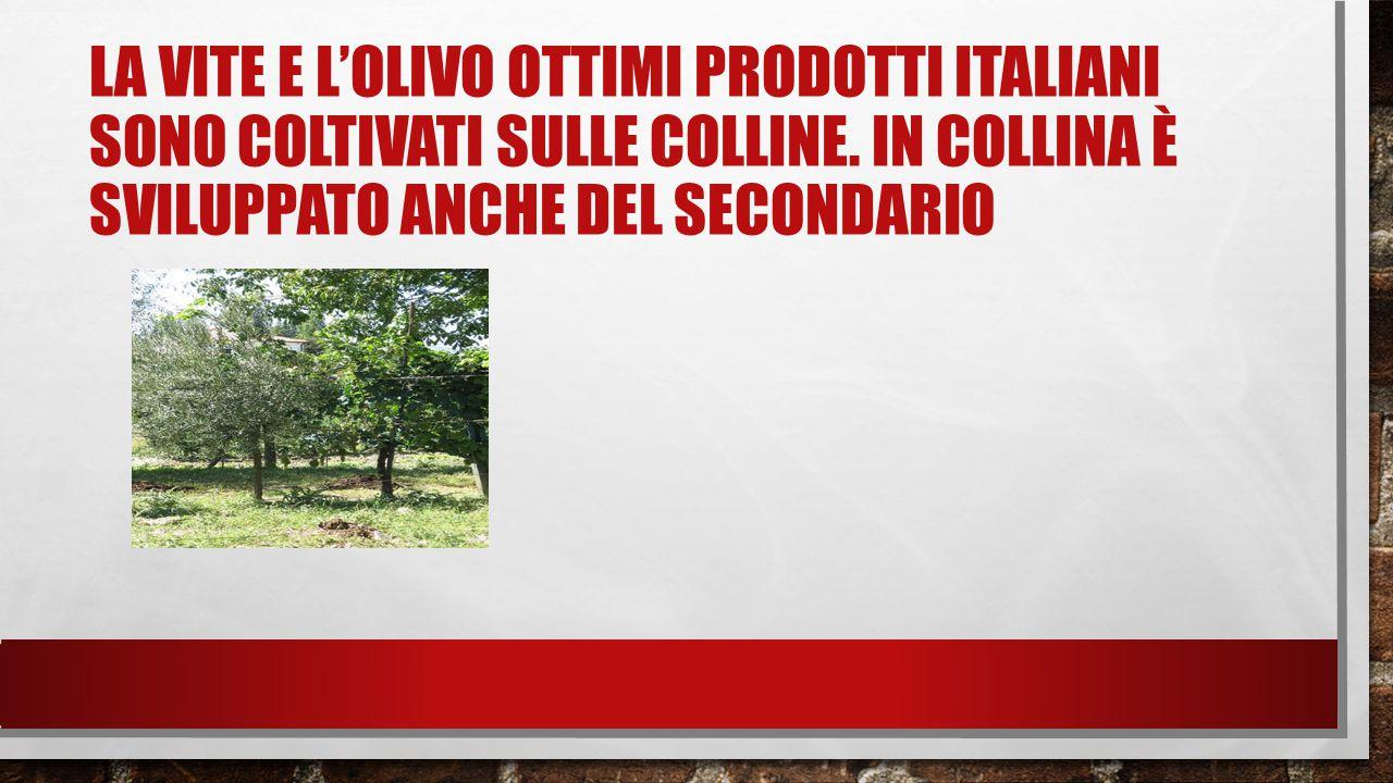 LA VITE E L'OLIVO OTTIMI PRODOTTI ITALIANI SONO COLTIVATI SULLE COLLINE.