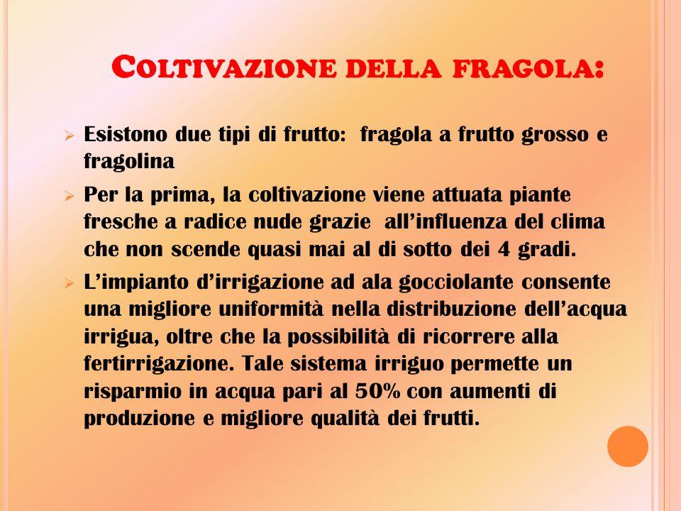 C OLTIVAZIONE DELLA FRAGOLA :  Esistono due tipi di frutto: fragola a frutto grosso e fragolina  Per la prima, la coltivazione viene attuata piante