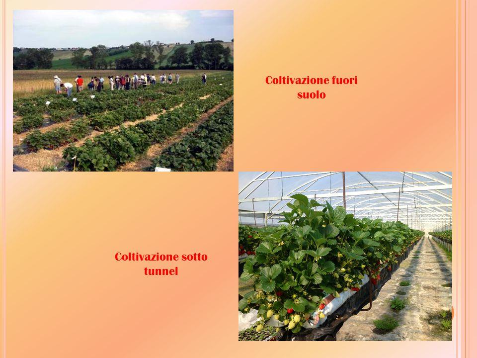 Coltivazione fuori suolo Coltivazione sotto tunnel