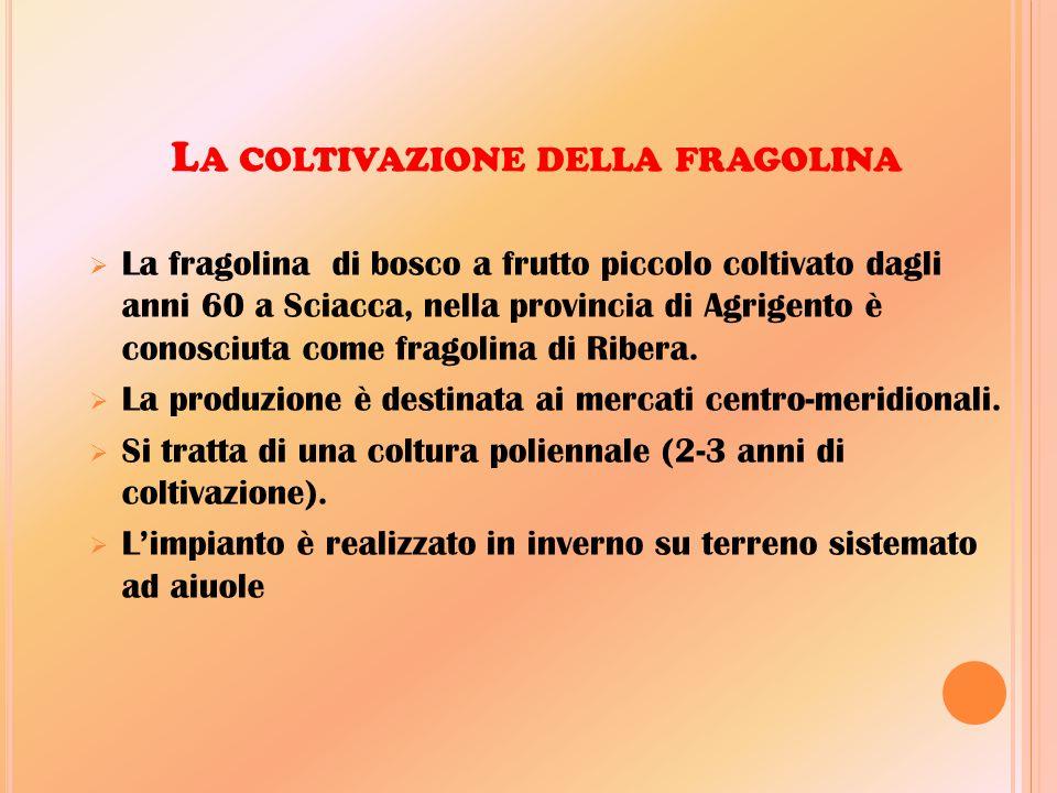 L A COLTIVAZIONE DELLA FRAGOLINA  La fragolina di bosco a frutto piccolo coltivato dagli anni 60 a Sciacca, nella provincia di Agrigento è conosciuta