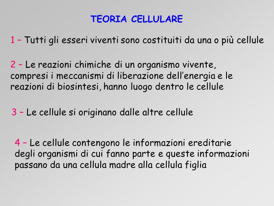 4 – Le cellule contengono le informazioni ereditarie degli organismi di cui fanno parte e queste informazioni passano da una cellula madre alla cellula figlia 1 – Tutti gli esseri viventi sono costituiti da una o più cellule 2 – Le reazioni chimiche di un organismo vivente, compresi i meccanismi di liberazione dell'energia e le reazioni di biosintesi, hanno luogo dentro le cellule 3 – Le cellule si originano dalle altre cellule TEORIA CELLULARE