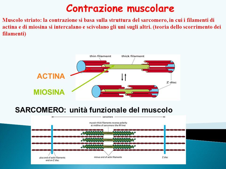 Contrazione muscolare SARCOMERO: unità funzionale del muscolo Muscolo striato: la contrazione si basa sulla struttura del sarcomero, in cui i filament