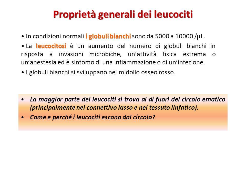 Proprietà generali dei leucociti i globuli bianchi In condizioni normali i globuli bianchi sono da 5000 a 10000 /μL. leucocitosi La leucocitosi è un a