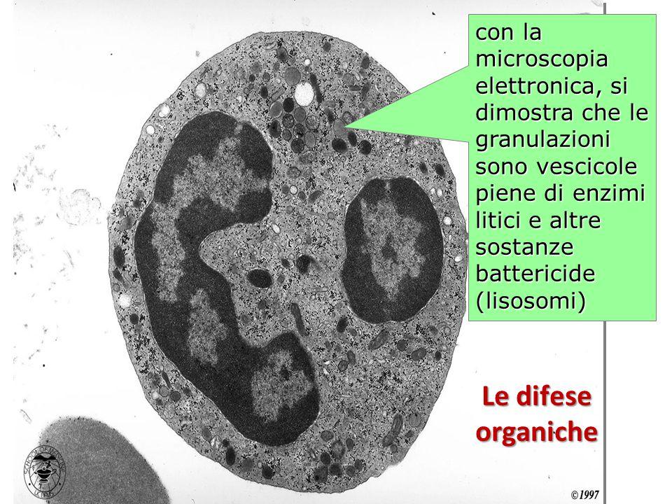con la microscopia elettronica, si dimostra che le granulazioni sono vescicole piene di enzimi litici e altre sostanze battericide (lisosomi) Le difes