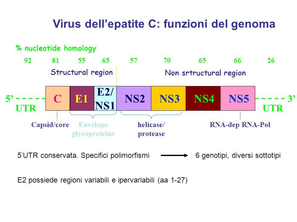 Virus dell'epatite C: funzioni del genoma NS5 UTR 3' NS4 NS3 NS2 E2/ NS1 E1C UTR 5' Structural region Non srtructural region helicase/ protease RNA-de