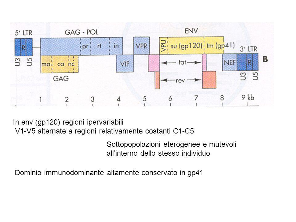 In env (gp120) regioni ipervariabili V1-V5 alternate a regioni relativamente costanti C1-C5 Sottopopolazioni eterogenee e mutevoli all'interno dello s