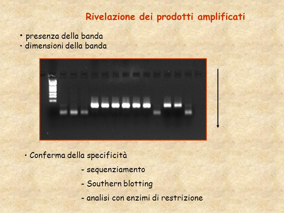 Rivelazione dei prodotti amplificati presenza della banda dimensioni della banda Conferma della specificità - sequenziamento - Southern blotting - analisi con enzimi di restrizione