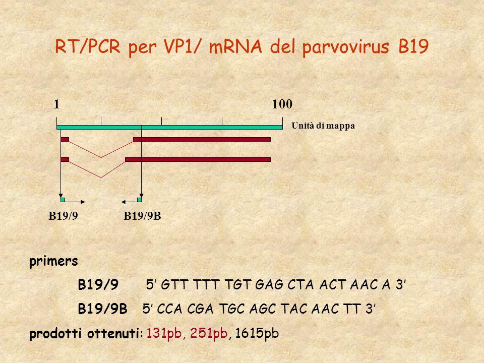 RT/PCR per VP1/ mRNA del parvovirus B19 primers B19/9 5' GTT TTT TGT GAG CTA ACT AAC A 3' B19/9B 5' CCA CGA TGC AGC TAC AAC TT 3' prodotti ottenuti: 131pb, 251pb, 1615pb B19/9 B19/9B 1 100 Unità di mappa