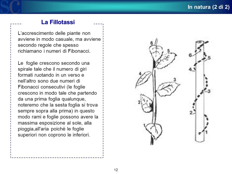 12 L'accrescimento delle piante non avviene in modo casuale, ma avviene secondo regole che spesso richiamano i numeri di Fibonacci. Le foglie crescono