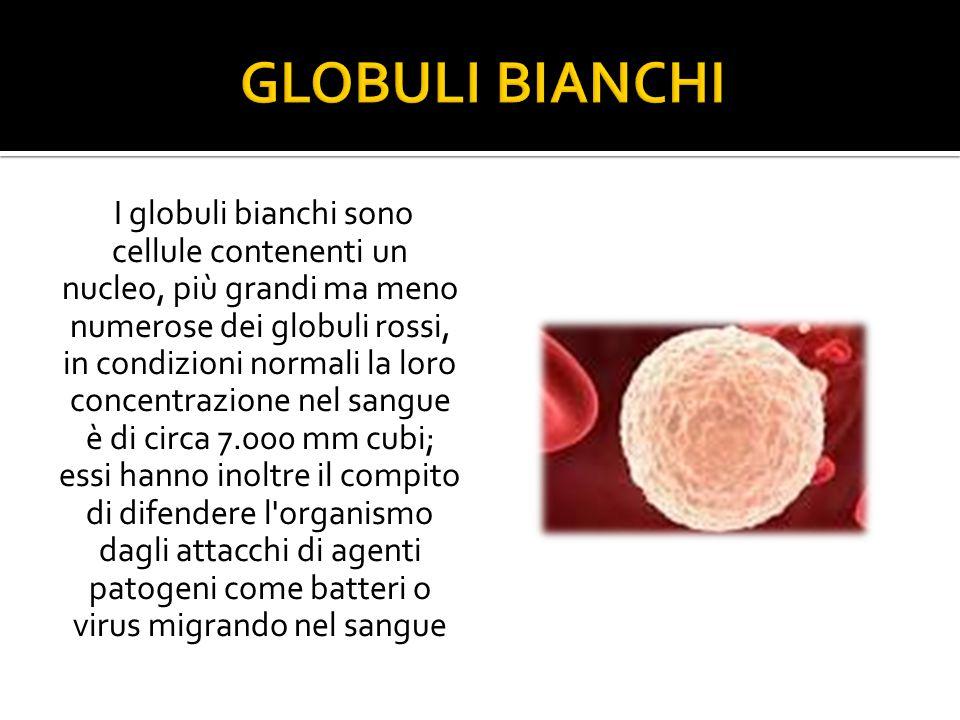 I globuli bianchi sono cellule contenenti un nucleo, più grandi ma meno numerose dei globuli rossi, in condizioni normali la loro concentrazione nel sangue è di circa 7.000 mm cubi; essi hanno inoltre il compito di difendere l organismo dagli attacchi di agenti patogeni come batteri o virus migrando nel sangue