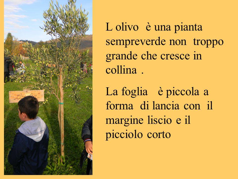 L olivo è una pianta sempreverde non troppo grande che cresce in collina. La foglia è piccola a forma di lancia con il margine liscio e il picciolo co